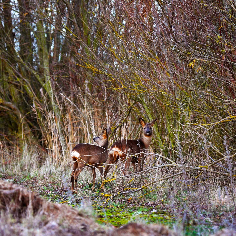 Roe deer at Waterbeach Barracks